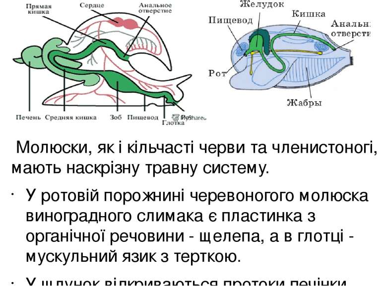 У ссавців добре розвинені травні залози: слинні, печінка та підшлункова. Пер...