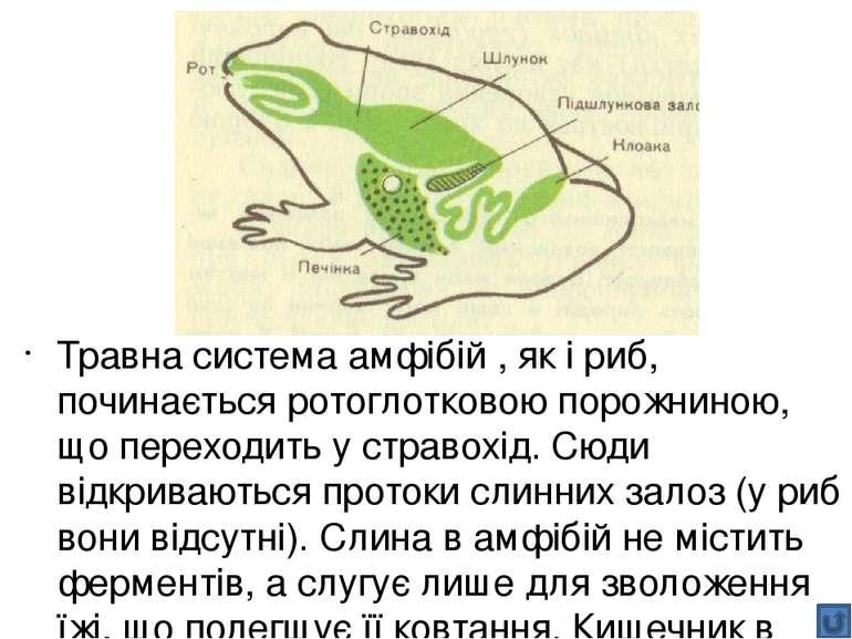 Наприклад, у жуйних (як ви пам'ятаєте, це група парнокопитних, до якої належа...