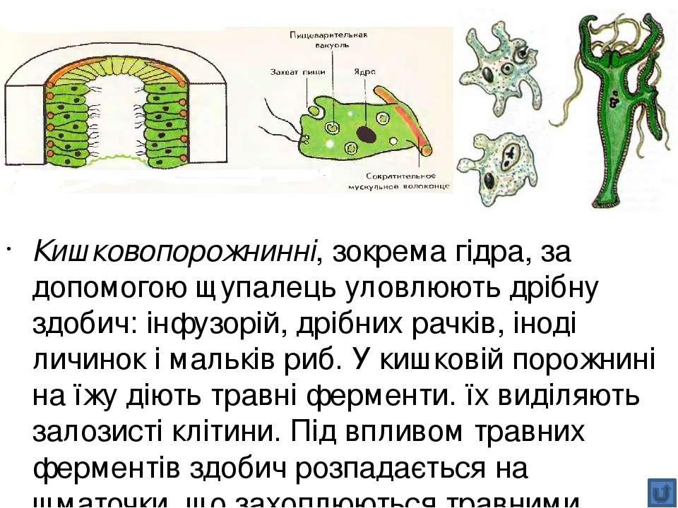 Молюски, як і кільчасті черви та членистоногі, мають наскрізну травну систем...