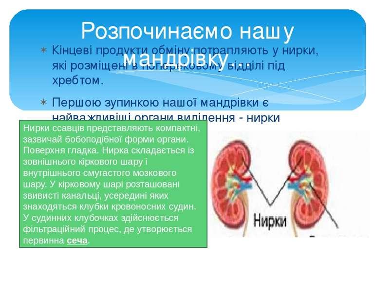 Кінцеві продукти обміну потрапляють у нирки, які розміщені в поперековому від...