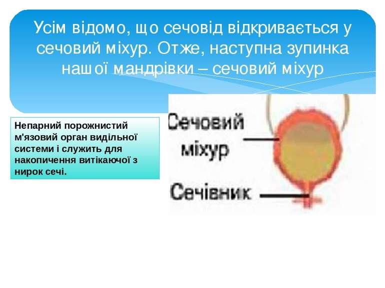 Усім відомо, що сечовід відкривається у сечовий міхур. Отже, наступна зупинка...