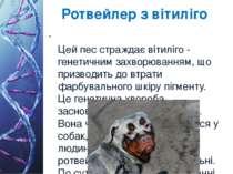 Ротвейлер з вітиліго Цей пес страждає вітиліго - генетичним захворюванням, що...