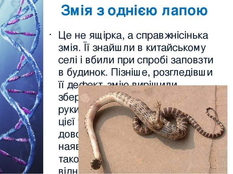 Змія з однією лапою Це не ящірка, а справжнісінька змія. Її знайшли в китайсь...