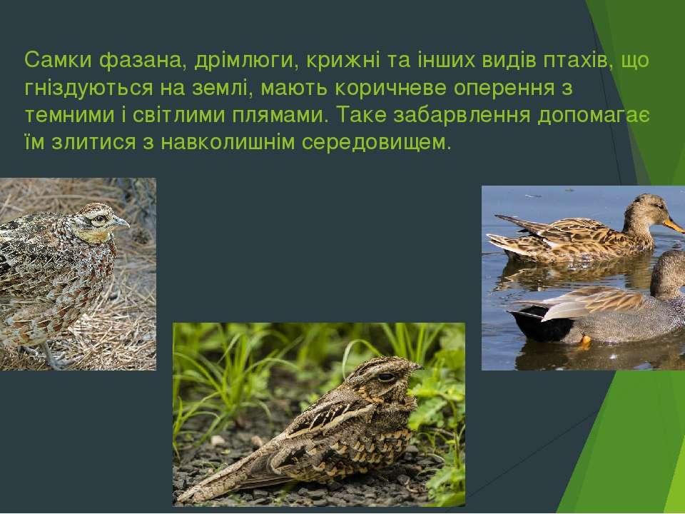 Самки фазана, дрімлюги, крижні та інших видів птахів, що гніздуються на землі...