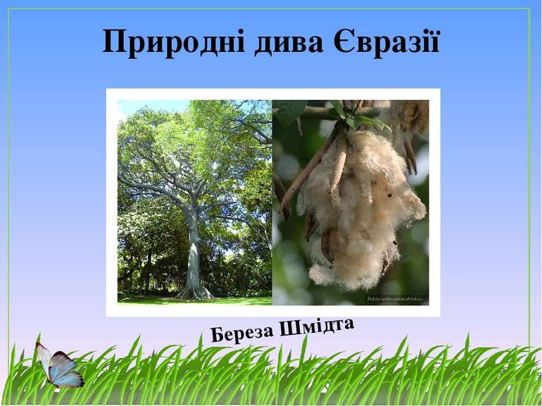 Природні дива Євразії Береза Шмідта