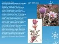 Сон великий Pulsatilla grandis Wend Центральноєвропейський вид на східній меж...