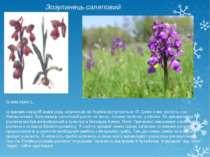 Зозулинець салеповий Orchis morio L. Із відомих науці 85 видів роду зозулинці...