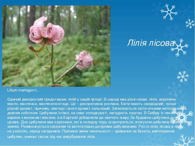 Лілія лісова Lilium martagon L. Єдиний дикорослий представник лілій у нашій ф...