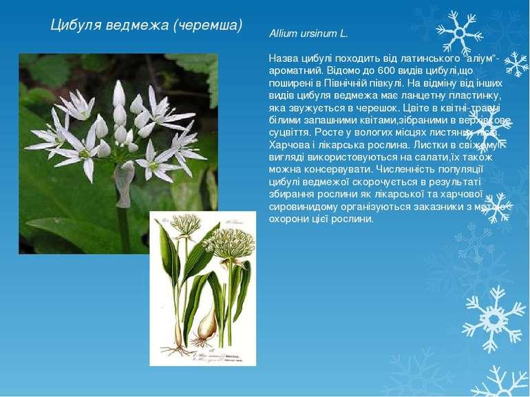 Цибуля ведмежа (черемша) Allium ursinum L. Назва цибулі походить від латинськ...