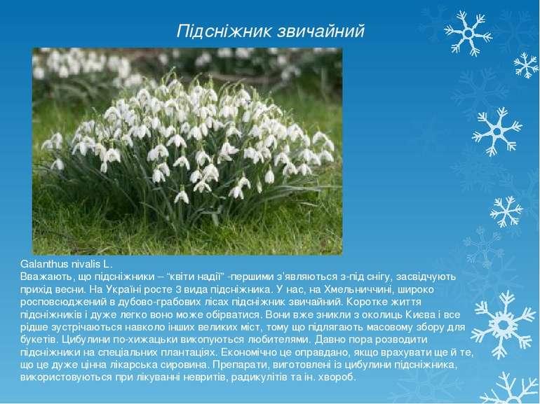 """Підсніжник звичайний Galanthus nivalis L. Вважають, що підсніжники – """"квіти н..."""