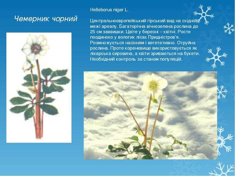 Чемерник чорний Helleborus niger L. Центральноєвропейський гірський вид на сх...