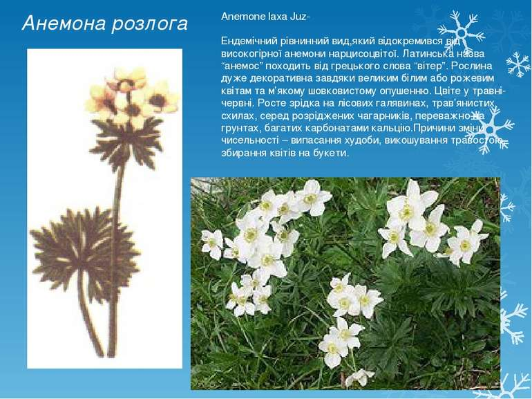 Анемона розлога Anemone laxa Juz- Ендемічний рівнинний вид,який відокремився ...