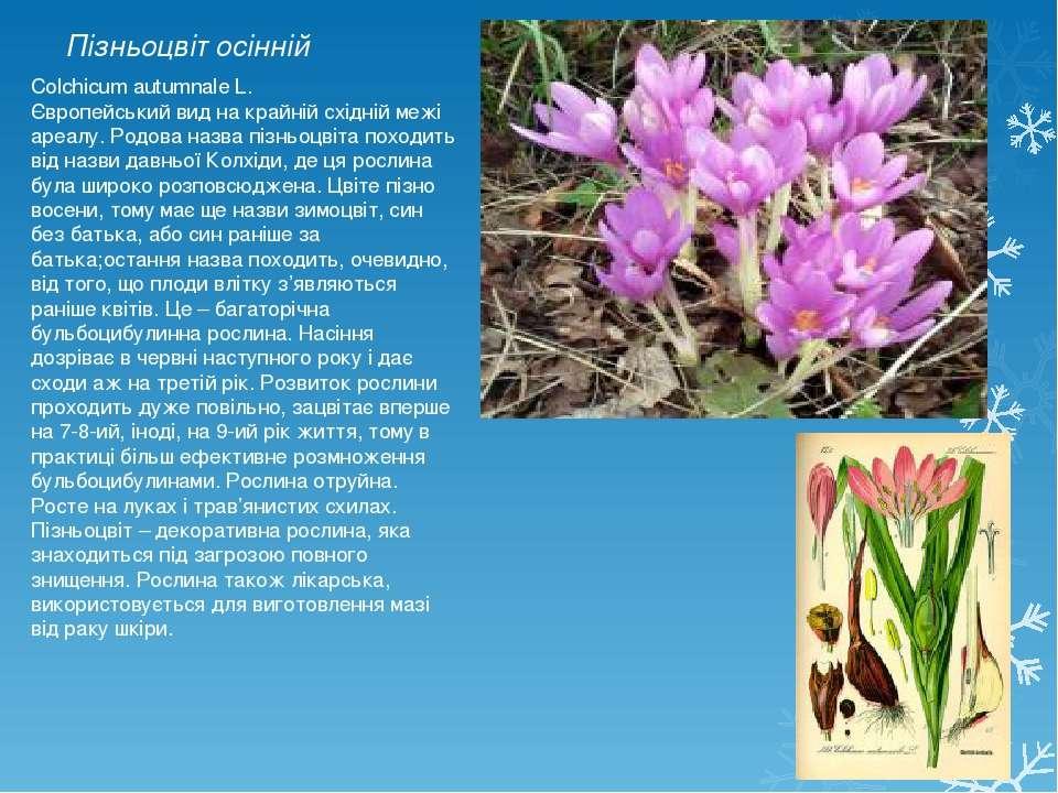 Пізньоцвіт осінній Colchicum autumnale L. Європейський вид на крайній східній...