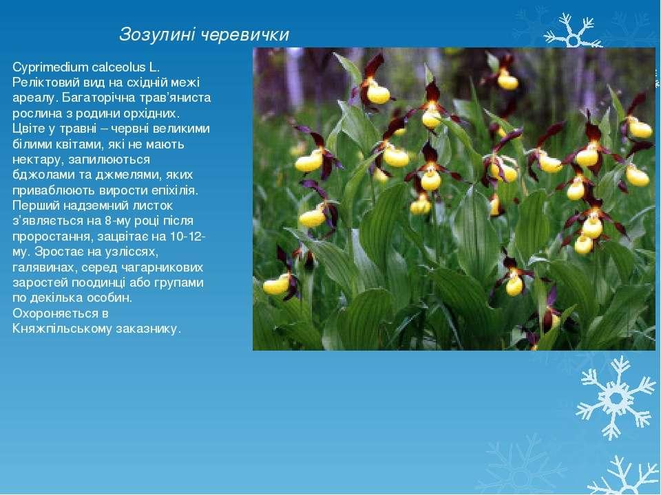 Зозулині черевички Cyprimedium calceolus L. Реліктовий вид на східній межі ар...