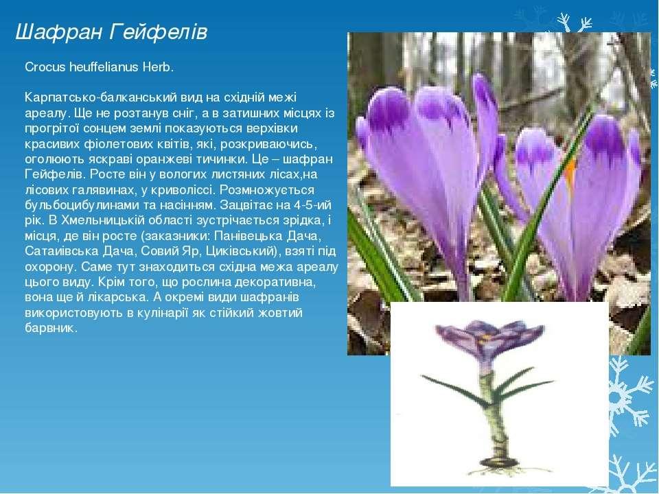 Шафран Гейфелів Crocus heuffelianus Herb. Карпатсько-балканський вид на східн...