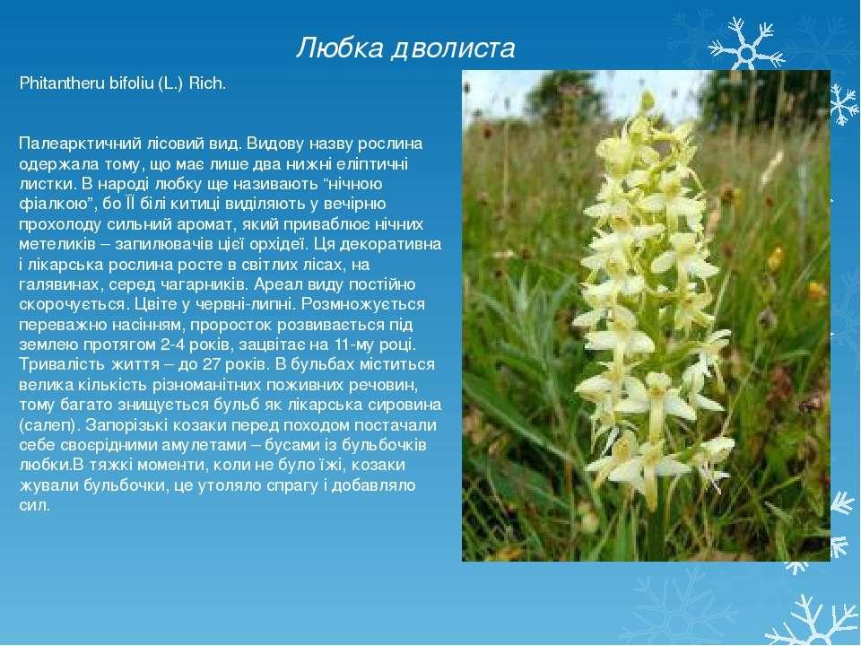 Любка дволиста Phitantheru bifoliu (L.) Rich. Палеарктичний лісовий вид. Видо...