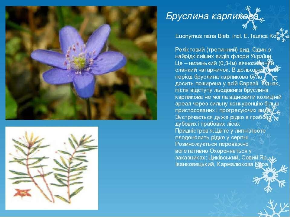 Бруслина карликова Euonymus папа Bleb. incl. E. taurica Kot. Реліктовий (трет...