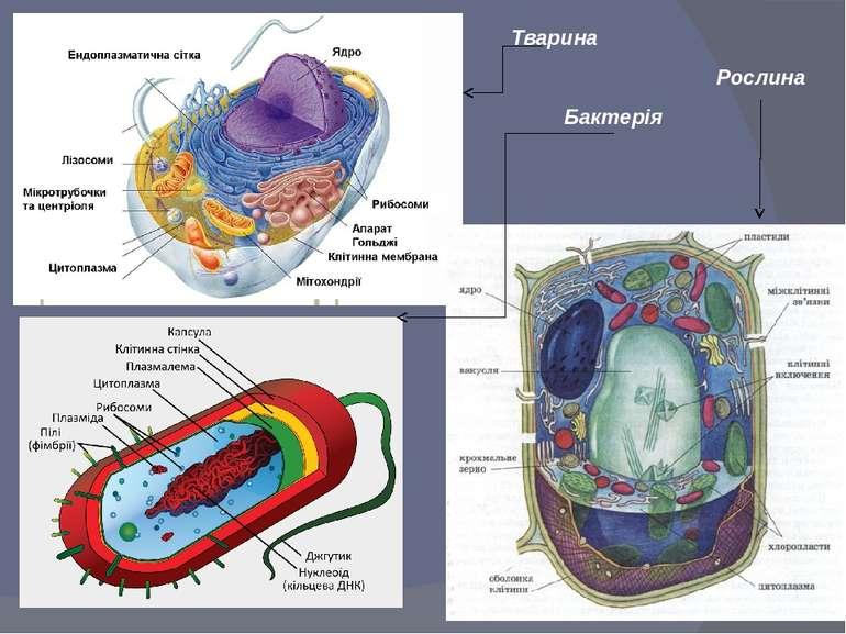 Тварина Рослина Бактерія