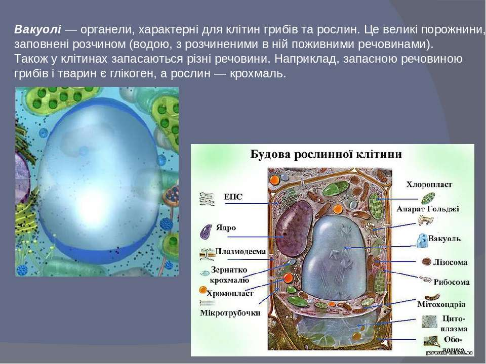 Вакуолі — органели, характерні для клітин грибів та рослин. Це великі порожни...
