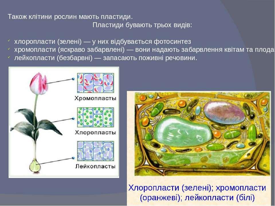 Також клітини рослин мають пластиди. Пластиди бувають трьох видів: хлоропласт...