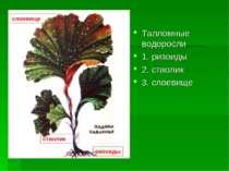 Талломные водоросли 1. ризоиды 2. стволик 3. слоевище ризоиды стволик слоевище
