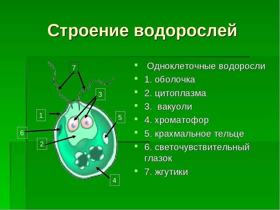 Строение водорослей Одноклеточные водоросли 1. оболочка 2. цитоплазма 3. ваку...