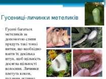 Гусениці-личинки метеликів Гусені багатьох метеликів за допомогою слини пряду...