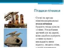 Пташки-пічники Схожі на дрозда північноамериканські птахи-пічники будують гні...