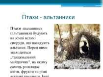 Птахи - альтанники Птахи -шалашники (альтанники) будують на землі великі спор...