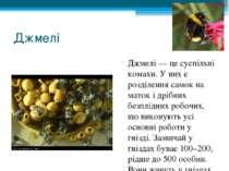 Джмелі Джмелі— це суспільні комахи. У них є розділення самок на маток і дріб...