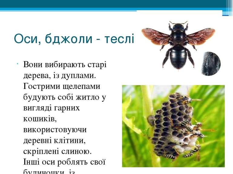 Оси, бджоли - теслі Вони вибирають старі дерева, із дуплами. Гострими щелепам...