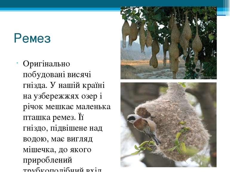 Ремез Оригінально побудовані висячі гнізда. У нашій країні на узбережжях озер...