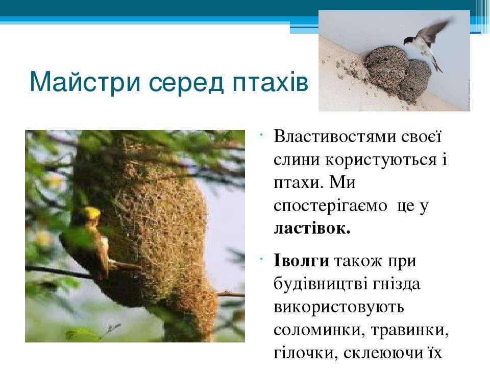 Майстри серед птахів Властивостями своєї слини користуються і птахи. Ми спост...