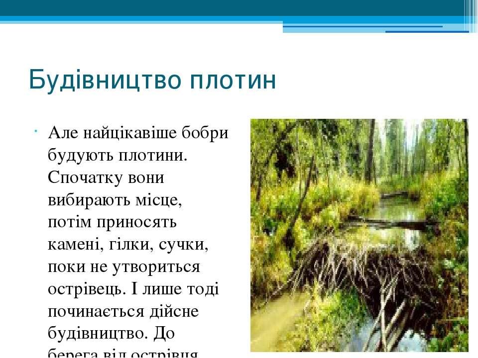 Будівництво плотин Але найцікавіше бобри будують плотини. Спочатку вони вибир...