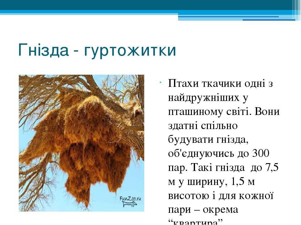 Гнізда - гуртожитки Птахи ткачики одні з найдружніших у пташиному світі. Вони...