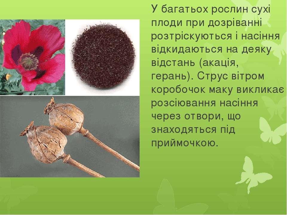 У багатьох рослин сухі плоди при дозріванні розтріскуються і насіння відкидаю...
