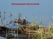 Коловодник болотяний