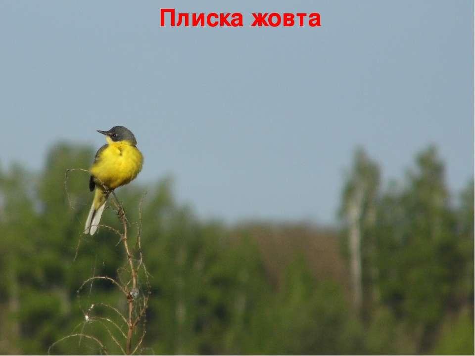 Плиска жовта