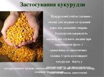 Кукурудзяні стебла і качани – смачні для людини та чудовий корм для домашніх ...