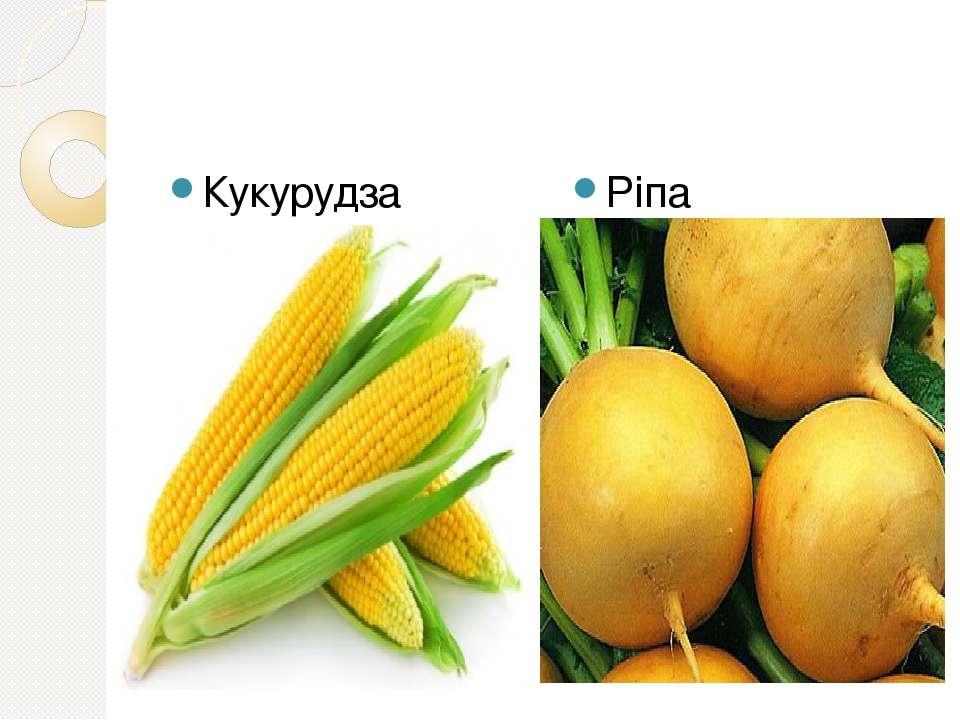 Кукурудза Ріпа