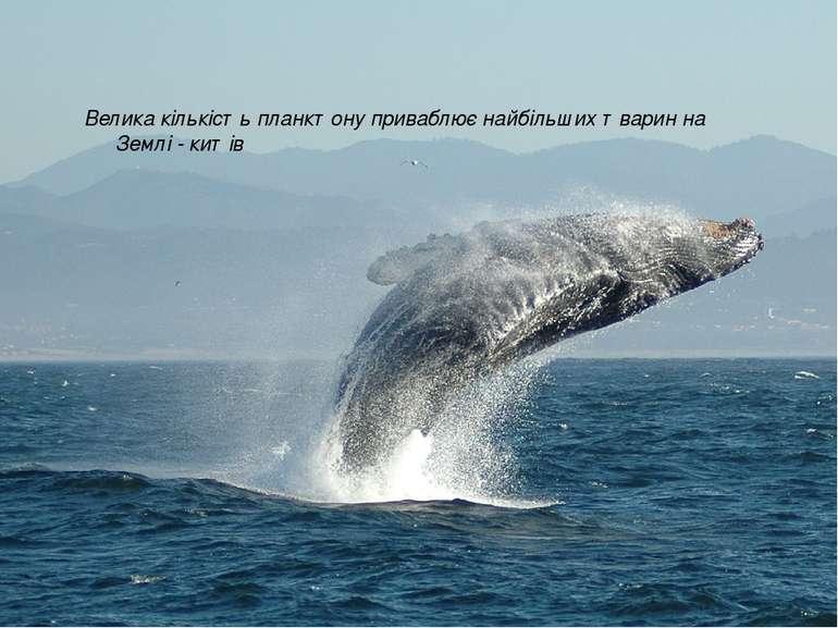 Велика кількість планктону приваблює найбільших тварин на Землі - китів
