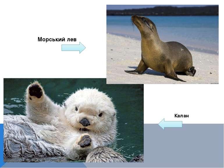 Калан Морський лев