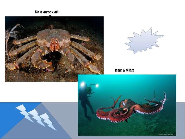 Камчатский краб кальмар