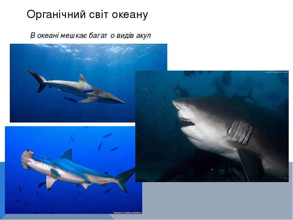 Органічний світ океану В океані мешкає багато видів акул