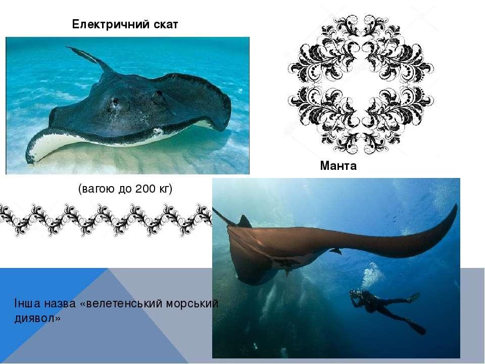 Манта (вагою до 200 кг) Електричний скат Інша назва «велетенський морський ди...