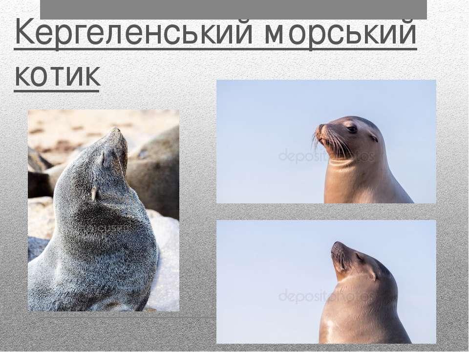Кергеленський морський котик