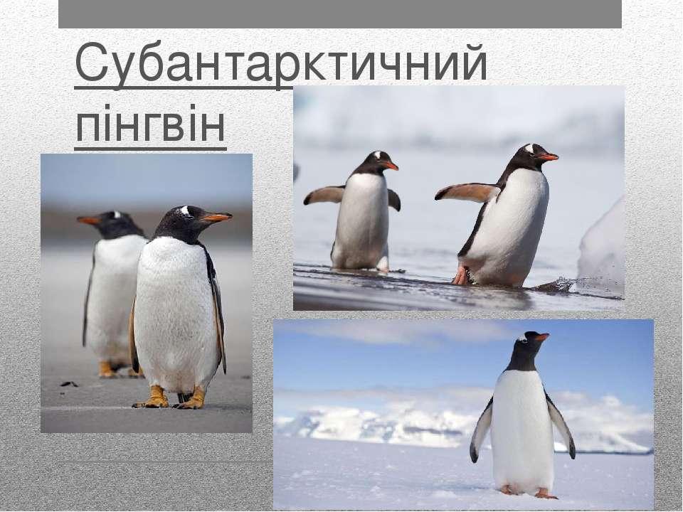 Субантарктичний пінгвін