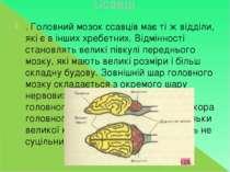 Ссавці . Головний мозок ссавців має ті ж відділи, які є в інших хребетних. Ві...