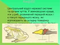 Амфібії Центральний відділ нервової системи та органи чуттів. У земноводних к...