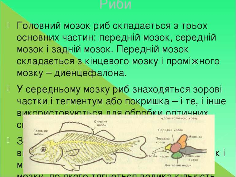 Риби Головний мозок риб складається з трьох основних частин: передній мозок, ...